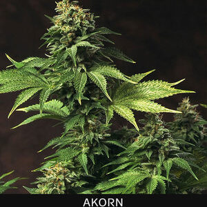 TH Seeds Akorn Feminiseret 5pk