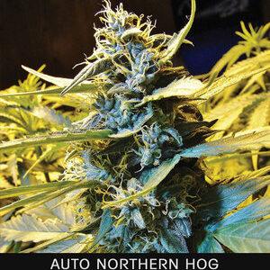 TH Seeds Northern HOG Autoflower 5pk
