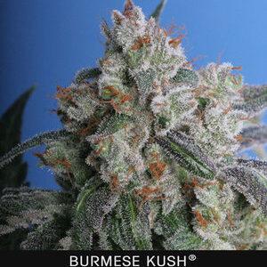 TH Seeds Burmese Kush Feminiseret 5pk