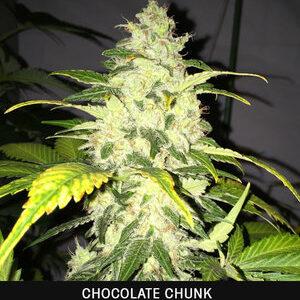 TH Seeds Chocolate Chunk Feminiseret 5pk