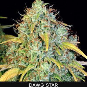 TH Seeds Dawg Star Feminiseret 5pk
