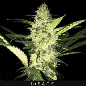 TH Seeds S.A.G.E Feminiseret 5pk