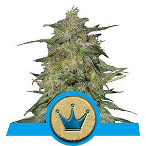 RQS Royal Highness CBD-Feminiseret 3,5 & 10 stk