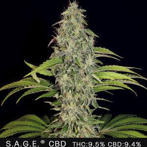 TH Seeds S.A.G.E CBD-Feminiseret 5pk
